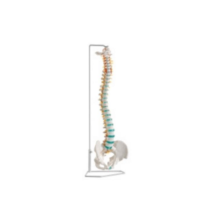 wervelkolom flexibel